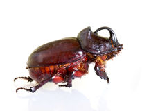 Rhino beetle Royalty Free Stock Photo