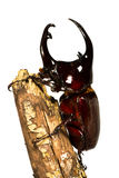 Rhino beetle on a log Stock Photography
