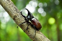 Rhino Beetle Royalty Free Stock Photography