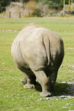Rhino From Behind. A rhino grazing on the grass Royalty Free Stock Images