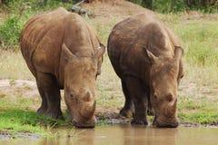 Rhino bianco Fotografia Stock Libera da Diritti