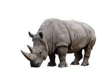 Rhino. Big african Rhino isolated on a white background stock images