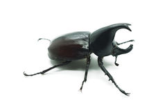 Rhino big horn beetle bug. Isolated on white background Royalty Free Stock Photos