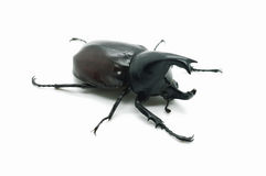 Rhino big horn beetle bug. Isolated on white background Stock Photos