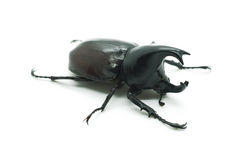 Rhino big horn beetle bug. Isolated on white background Royalty Free Stock Image