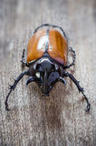 Rhino big horn beetle bug Stock Photo