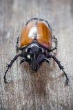 Rhino big horn beetle bug Stock Photo