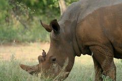 Rhino and Bird. Bird sitting on Rhinos nose in game park in Africa Stock Image