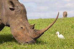 Rhino Bird Stock Image