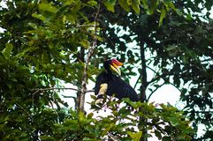 The rhino bird hornbill cleans feathers while sitting on a tre. E branch. Borneo. Malaysia Royalty Free Stock Image