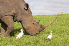 Rhino Birds Wildlife Stock Photo
