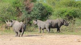 Rhino, Black - African Rare and Endangered Species Stock Photo