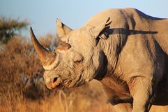 Rhino, Black - Endangered African Mammal stock photo
