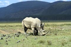 Rhino. Black rhinoceros in Nakuru National Park in Kenya Royalty Free Stock Photography