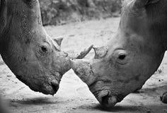 Rhino , black and white Stock Photo