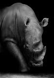 Rhino in Black and White. Wild African White Rhino in Monochrome Stock Photo
