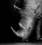 Rhino in Black and White Royalty Free Stock Photos