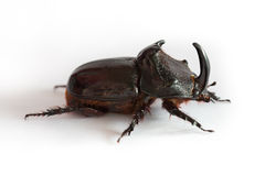 Rhino bug Royalty Free Stock Images
