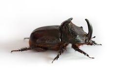 Rhino bug Royalty Free Stock Images