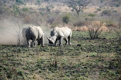 Rhino bulls fighting in Pilanesberg National Park. White rhinoceros bulls fighting in Pilanesberg National Park, South Africa Stock Photo