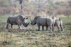 Rhino bulls fighting in Pilanesberg National Park. White rhinoceros bulls fighting in Pilanesberg National Park, South Africa Stock Images