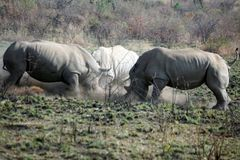 Rhino bulls fighting in Pilanesberg National Park. White rhinoceros bulls fighting in Pilanesberg National Park, South Africa Stock Image