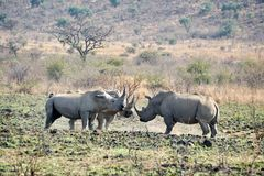 Rhino bulls fighting in South Africa. Three rhino bulls fighting in Pilanesberg National Park, South Africa royalty free stock photography