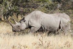Rhino in the bush. Rhinoceros in the bush, Etosha, Namibia, Africa Stock Images