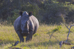 Rhino in the bush on the left. In the early morning light Royalty Free Stock Photo