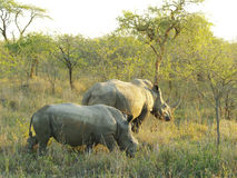 Rhino and calf. Female white rhino and calf, Hluhluwe Park, South Africa Stock Photography