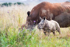 Rhino calf approaches Stock Photos