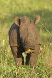 Rhino Calf Royalty Free Stock Photos