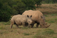 Rhino calf with its mother. Grazing Royalty Free Stock Photos