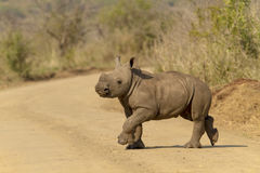 Rhino Calf on the move stock images