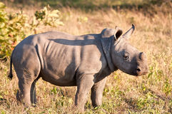 Rhino  calf in nature green grass Royalty Free Stock Photo