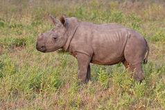 Rhino  calf in nature green grass Royalty Free Stock Photos