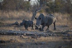 Rhino & Calf Stock Photography
