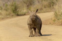 Rhino calf Royalty Free Stock Photos