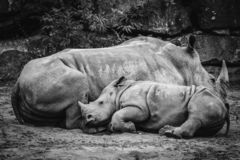 Rhino calf sleeping up against the mother royalty free stock photos