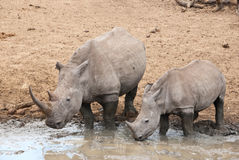 Rhino with a calf Stock Images