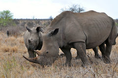 Rhino with calv,Kruger NP,South Africa Royalty Free Stock Photos