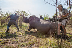 Rhino capture in South Africa. Anti Rhino poaching unit darting rhino to move them to a safer location. With the rise in Rhino killings for their horns Stock Photography