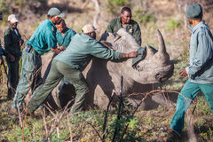 Rhino capture in South Africa Stock Photo