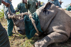 Rhino capture in South Africa Stock Image