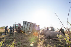 Rhino capture in South Africa Royalty Free Stock Photos
