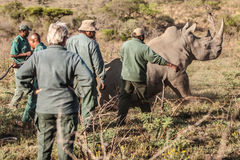 Rhino capture in South Africa Royalty Free Stock Image