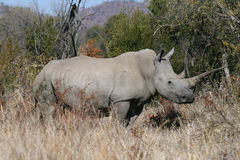 Rhino ceratotherium simum. White rhino adult showing off long horn stock photo