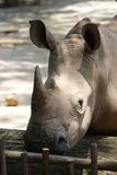 Rhino 2 Royalty Free Stock Image