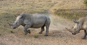 Rhino charge. Royalty Free Stock Image
