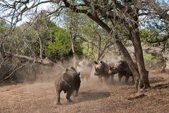 Rhino charge Royalty Free Stock Image